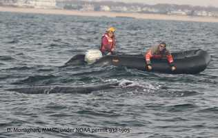 Although it had been injured by the rope cutting into it, Landry says the whale swam off rapidly and should be fine.