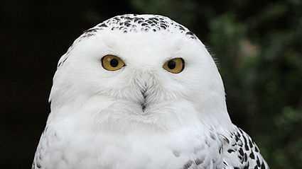 425px-Snowy_Owl_-_Schnee-Eule.jpg