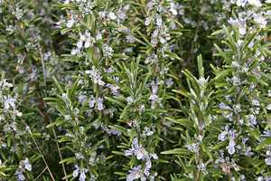 Or try sniffing rosemary.