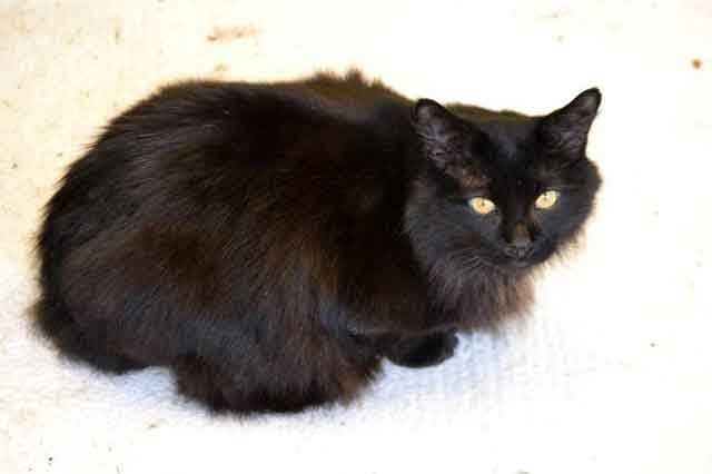 Black Fluff is a medium-length fur, neutered male currently living at the MSPCA Cape Cod Adoption Center in Centerville. Black Fluff was brought to the adoption center when his owner passed away and no one was left to care for him. He can be really shy at first, so he'd do best in a quiet home with a patient person, the MSPCA says. He gets along well with other cats. For more info on Black Fluff, click here!