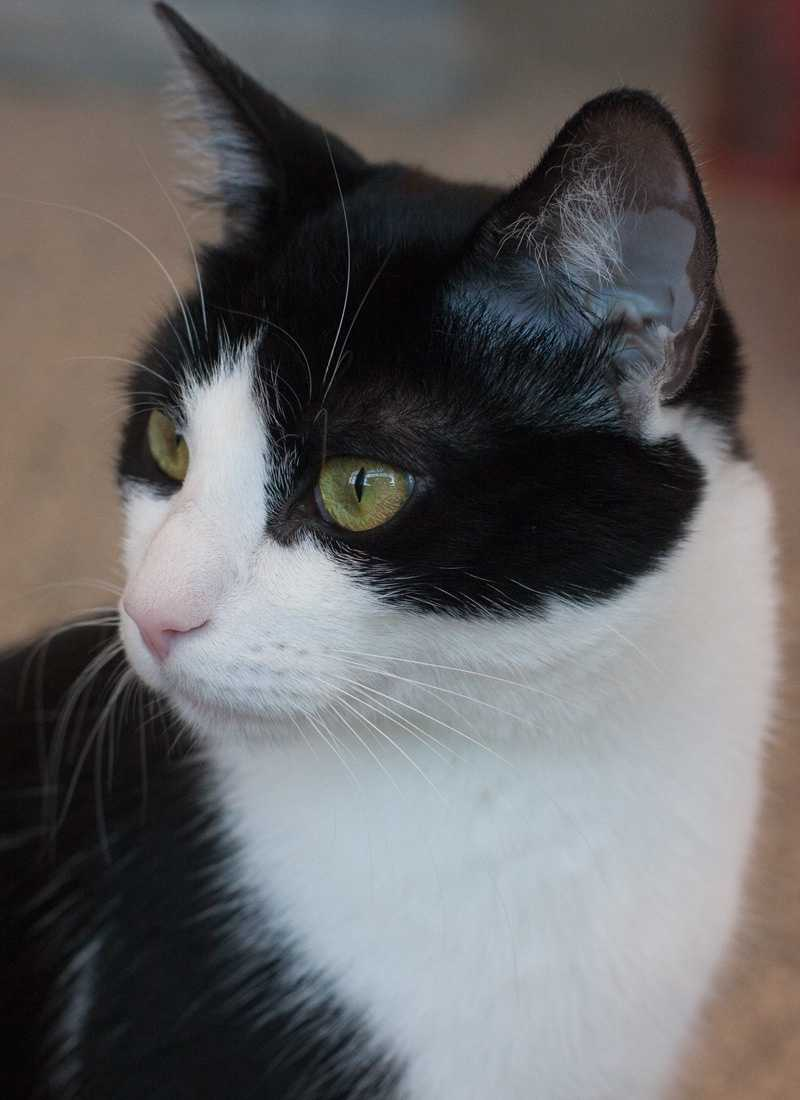 """Harry is a young domestic short hair. This """"sweet, friendly guy"""" is about a year old and has been neutered. He came to the shelter because of a pet allergy. He gets along well with the other cats at MSPCA Boston and would probably do well with calm, gentle kids. For more on Harry, click here."""