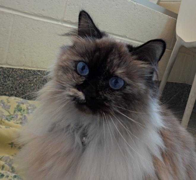 Hinkley is a young female ragdoll and tortoiseshell mix currently staying at the MSCPA at Nevins Farm in Methuen. She has big blue eyes, is spayed and is house trained. All of her shots are up to date. For more info on Hinkley, click here!