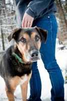 Samson is a 7 year old German shepherd mix who is quiet and fairly low energy. He walks pretty well on a harness and loves to go for walks. He would do best in a home without young children or cats. For more info on adopting Samson, click here.