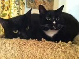 Abraham and Chip are inseparable pals. They are about 2.5 years old and neutered. The pair should be adopted together. Abraham is a little more reserved than Chip. For more info on adopting Abraham and Chip, click here.