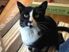 Bentley is a 1.5 year old neutered male who is very sweet and loves to play with toy mice and feathers. Bentley needs to be an indoor cat. For more info on adopting Bentley, click here.