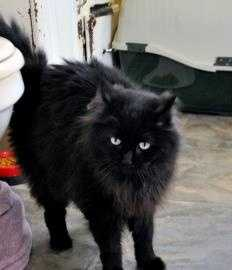 Jinx is a very lovable, 6 year old, black Maine Coon mix. He is great with cats, but shouldn't be with kids as they tend to make him uncomfortable, the shelter says. For more info adopting Jinx, click here.