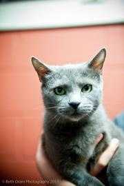 Mandy, 10, is a stunning spayed gray cat who came to Baypath with an abdominal hernia, which has been repaired. It may take her a little time to warm up, but once she does she loves to purr and be scratched under her chin. For more info on Mandy, click here!