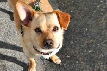 Buddy is a 2.5 year old Chihuahua mix who does well with people and other dogs. Buddy is a great walking and running partner. Buddy has lived with another dog, and he loves to play with squeaky toys. For more info on adopting Buddy, click here.