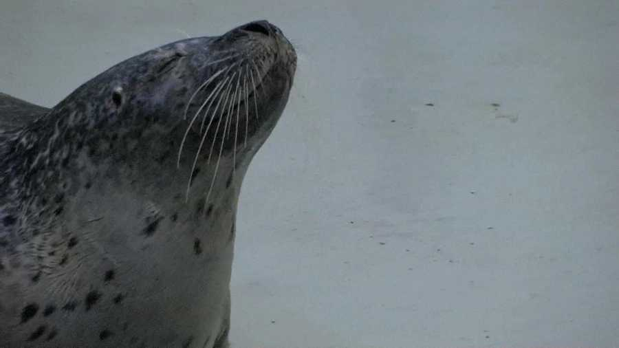 Harbor seals, like aging people, can suffer from similar chronic medical conditions like cataracts.