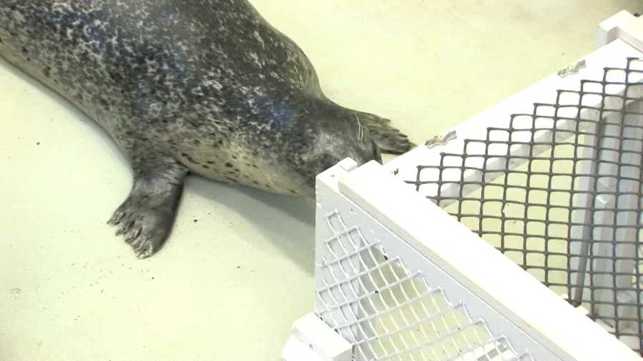 The vision of Reggae and Chacoda (Chuck), two adult male harbor seals, had deteriorated in recent years.