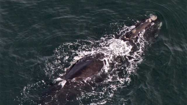 Right Whale Wart 020914