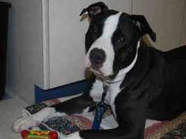 Kovu is an almost 2-year-old neutered, black and white American Staffordshire Terrier mix. Kovu loves people, to play with other dogs and tug ropes. Kovu is housetrained, and loves going for car rides. Kovu needs a home where he can get lots of exercise and play. He is working on his leash manners and walks pretty politely with an easy-walk harness. For more info on adopting Kovu, click here!