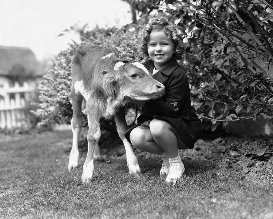 Smile and those famous dimples are enough but anyway it's Shirley Temple posing affectionately with a calf given to her by school children of Tillamook. Shirley is shown at her Hollywood, Calif. home shortly after she received the calf.