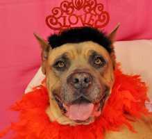 Bella is a 5-year-old Cane Corso Mastiff currently at the MSPCA Boston Animal Care and Adoption Center in Boston. She was surrendered with her buddy, Gacho, because their owner had health issues. They're lovable but large, and may knock down small kids. The shelter hopes to keep the pair together. For info on adopting Bella, click here.