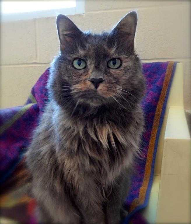"""Emma, 14, is a dilute tortie who was surrendered when her owners moved to a place that did not allow pets. She has been an indoor cat her whole life, and would probably do best as an only cat. Emma is affectionate, well-mannered and doesn't jump on table tops or counters. """"She is friendly with visitors to the house, a social butterfly, and purrs immediately on greeting them,"""" the shelter says. For more info on Emma, click here."""