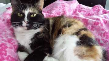 Halla is a calico currently living at MSPCA at Nevins Farm in Methuen. Halla is a sweet and spunky girl who is super social and loves people, the shelter says. Although she would love to be the only animal in her household so she can be doted on, she might consider a mellow dog or feline friend who would give her space. For more info on Halla, click here.