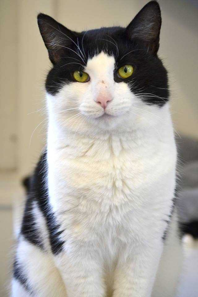 Jake is a domestic short hair-black and white male currently staying at the MSPCA Cape Cod Animal Care and Adoption Center in Centerville. Jake is up to date on his shots, house trained and neutered. For more info on adopting Jake, click here.
