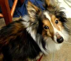 Archie is a 9 year old Shetland Sheepdog mix. This little guy has a sable coat and has been neutered. Click here for more info about adding Archie to your family!