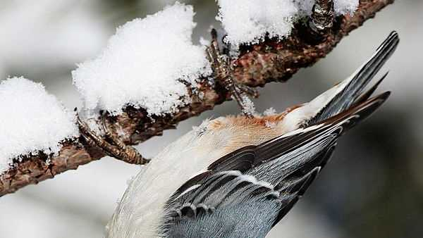 White-breasted Nuthatch: 651 sightings