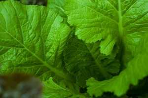 Weather has played a major role in the production of lettuce.