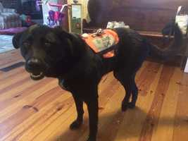 Machiko, a 5-year-old black Lab, was diagnosed with bone cancer three weeks ago and is currently only walking on three legs.