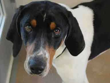 Mason is a 3-year-old Treeing Walker Coonhound. Mason is a complete goofball, who would do well in a home familiar with Coonhounds or hounds in general. He has a sweet personality and is very food motivated so should be somewhat easy to train. For more on Mason, click here.