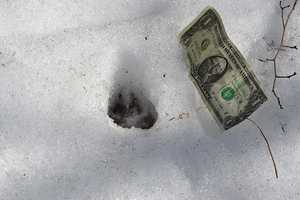 """""""In photo # 12 with the dollar bill to the right, the parallel front toe pads are very clear and hint very strongly of nail slice imprints into the snow, although the snow texture/ track definition does not absolutely confirm that. But clearly the toes are even&#x3B; one toe does not lead the other.This track is obviously from a canid.""""Source: E-mail fromThomas W. French, Ph.D., Assistant Director, Division of Fisheries and Wildlife"""