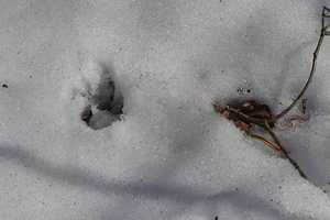 The latest unconfirmed sighting came 10 days after a resident reported seeing what they thought was a mountain lion on Feb. 25. Dr. Thomas French, assistant director of the Massachusetts Division of Fisheries & Wildlife, said it was more likely a coyote or dog.