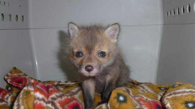Brockton Rescued Fox 3.21.14