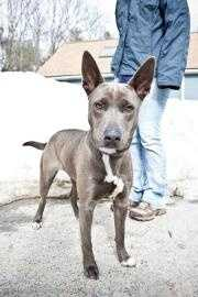Gypsy is a beautiful 1-year-old gray/blue Thai Ridgeback/Mix who is looking for a family to run, hike or play with. Gypsy is a very active pup who will benefit from training. For more on Gypsy, click here.