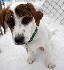 Harley is an energetic 5 month old beagle-Basset hound mix who is sweet as can be. He loves to play with all his friends, and is just a happy little boy. Harley needs to go to a home with older kids or an adult-only home. For more on Harley, click here.