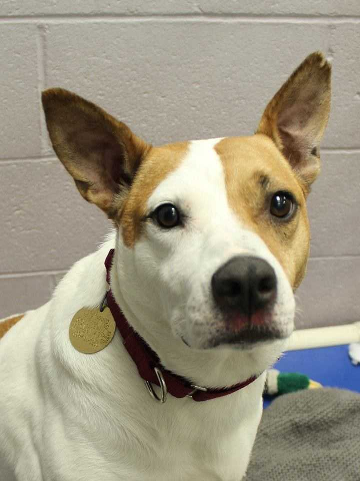 My name is Beanie! I am a 5-year-old female Boxer-Shepherd mix. For more information about me, please call or visit the shelter. Buddy Dog Humane Society, Inc. Sudbury, MA (978) 443-6990 or info@buddydoghs.com