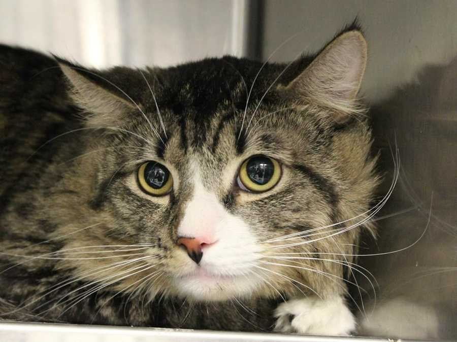My name is Fluffy! I am a 2 year old male DLH. I am a bit mischievous and love to run and play. I am too busy to be a lap cat but I do love to be petted. For more information about me, please call or visit the shelter. Buddy Dog Humane Society, Inc. Sudbury, MA (978) 443-6990 or info@buddydoghs.com