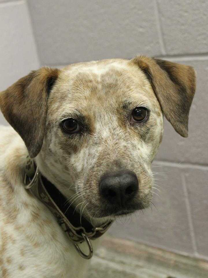 My name is Jasper! I am a 3-year-old male Cattle Dog mix. I am good with other dogs but I have never lived with cats. I can be nervous in new situations, so I would prefer to live in a quiet home with older kids (teens+). For more information about me, please call or visit the shelter. Buddy Dog Humane Society, Inc. Sudbury, MA (978) 443-6990 or info@buddydoghs.com
