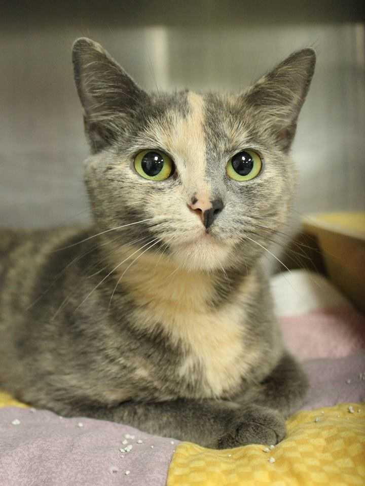 My name is Philomena! I am a 1-year-old female DSH. For more information about me, please call or visit the shelter. Buddy Dog Humane Society, Inc. Sudbury, MA (978) 443-6990 or info@buddydoghs.com