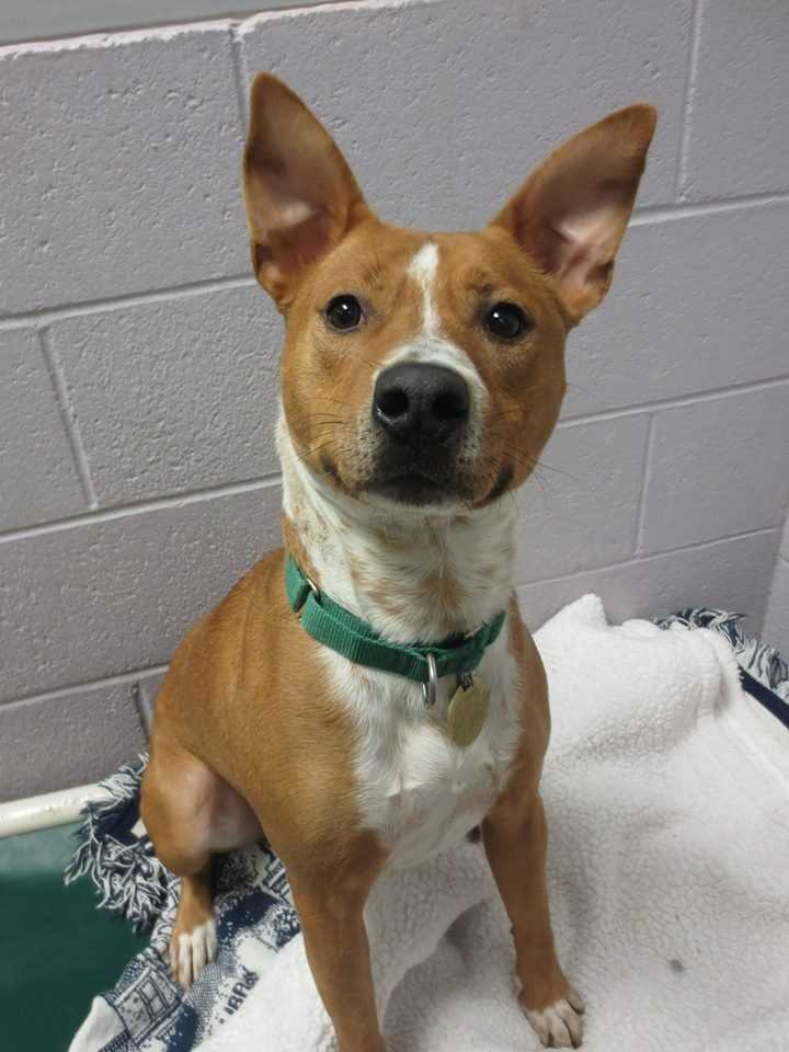 My name is Taylor! I am a I am a 3 year-old male Basenji mix. I am friendly, outgoing, and playful. I have just arrived at Buddy Dog from another rescue group. For more information about me, please call or visit the shelter. Buddy Dog Humane Society, Inc. Sudbury, MA (978) 443-6990 or info@buddydoghs.com