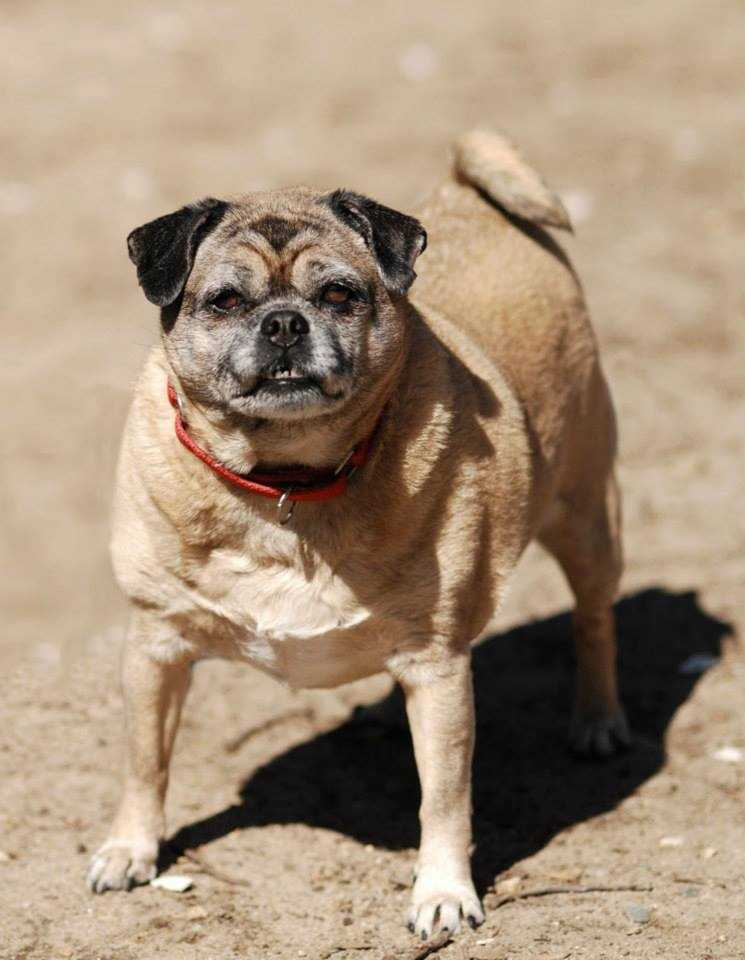Stevie is a 9 year old pug brought to the adoption center when her owner passed away. She is a typical pug -- comical, affectionate, a little bit stubborn but lovable. She who would do best in a home without other animals or small children. For more on Stevie, click here.