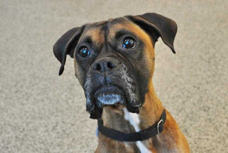 Sugar Ray, 5, is a Boxer who was brought to the shelter because he wasn't gaining weight. Vets found an object blocking his stomach. He is still recovering from surgery, and may require more medical care in the future. He is a love bug and very energetic and would do best without other pets and children. For more on Sugar Ray, click here.