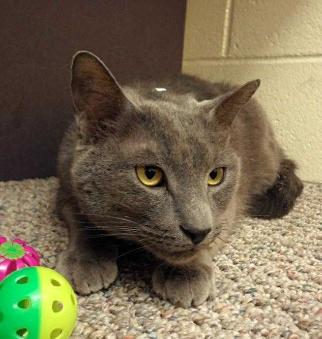 Shock, 5, has beautiful, soft gray fur that feels like velvet. He came from a home with too many cats, so he didn't get much one-on-one attention. He is nervous at the shelter, but has made great strides and love to have his head and ears scratched. For more on Shock, click here.