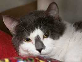 Storm, 2, is mellow and shy but warms up very quickly if you initiate petting. He appears to not mind cats, but it's uncertain what his experience is with dogs. Storm is neutered, fully vaccinated and microchipped. For more on Storm, click here.