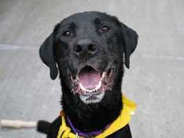 Belle, 8, is a spayed black Lab who loves the company of people. Belle loves to be patted and is quite a social butterfly, she enjoys taking walks and does very well on a leash. Belle is a sweet girl hoping to find her forever home very soon! For more on Belle, click here.