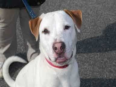 Benny, 1, is an American Bulldog mix. He loves to play and chase tennis balls, and would be a good jogging partner. He does well with dogs, but likes to chase cats. He is working on his social skills and can be fearful of men, especially those wearing hats. For more on Benny, click here.