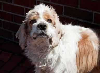 Bobby, 6, is a cute neutured Cocker spaniel. He loves to be outdoors so someone with a yard or that will take him on regular long walks would be great for this guy. He doesn't prefer to share his food so would do best in home with adults. He gets along with most other dogs. For more on Bobby, click here.