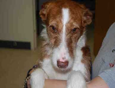 Fern, 1.5 years old, is a tall and lean Portuguese Podengo, with a wirehaired coat. She is shy and needs a gentle home with a fenced-in yard. She loves other dogs, but should not be placed with cats. For more on Fern, click here.