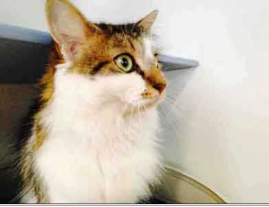 Morgan, 4, is a sweet, declawed long-haired domestic. She is shy at first but once she gets to know you she will beg for scratches all day long. Her favorite past time is taking long naps on her bed after she eats her breakfast. For more on Morgan, click here.