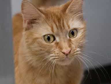 Pumpkin, 6, is small, affectionate and full of energy. She loves lasers, chin scratches, petting, fuzzy mice and sunny windows. Very affectionate, loves her people She would do best in a home without dogs. For more on Pumpkin, click here.