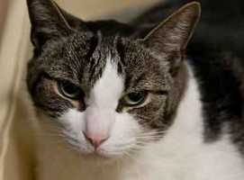 Robby, 6, came to the shelter after his owner passed away. He is confused and shy, but will do well if given time to adapt to a new life. He loves chin scratches and he relaxes if you sit quietly with him. For more on Robby, click here.
