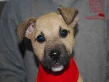 Sophie, 3 months, is a fawn Black Mouth Cur mix. She is full of energy and spirit and loves to chew on everything in sight. She would do well with another dog, but she may be too much for young kids due to her spunky nature. For more on Sophie, click here.