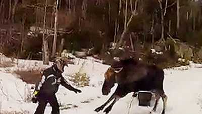 Moose charges N.H. couple snowmobiling in Maine
