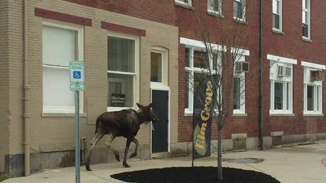Rochester moose